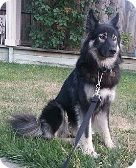 Siberian Husky/Shepherd (Unknown Type) Mix Dog for adoption in Pt. Richmond, California - MADDIE