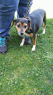 Rat Terrier/Jack Russell Terrier Mix Dog for adoption in Lake Orion, Michigan - Gallop
