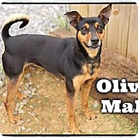 Adopt A Pet :: Oliver (Reduced Adoption Fee) - Plainfield, CT