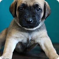 Adopt A Pet :: Candice - Waldorf, MD