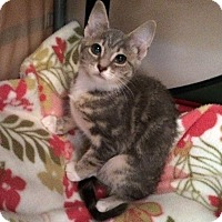 Domestic Shorthair Kitten for adoption in Monroe, North Carolina - Abigail