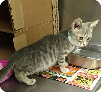 Domestic Shorthair Kitten for adoption in Powellsville, North Carolina - SHELBY