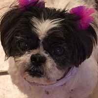Adopt A Pet :: Cuddles - Homer Glen, IL