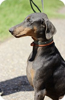 Doberman Pinscher Mix Dog for adoption in McAllen, Texas - Cowboy