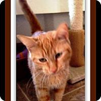 Domestic Shorthair Cat for adoption in Tombstone, Arizona - Sania