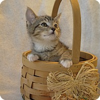 Domestic Shorthair Kitten for adoption in Wayne, New Jersey - Kassidy