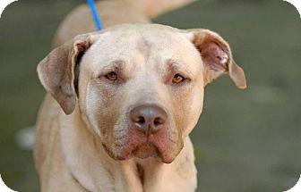 Labrador Retriever/Pit Bull Terrier Mix Dog for adoption in Pottsville, Pennsylvania - Rose