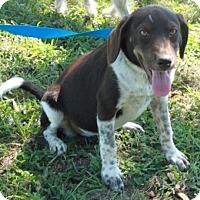 German Shorthaired Pointer Mix Puppy for adoption in Norfolk, Virginia - Hannah