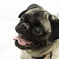 Adopt A Pet :: Ophelia - Cumberland, MD