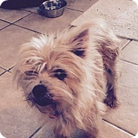 Yorkie, Yorkshire Terrier/Terrier (Unknown Type, Small) Mix Dog for adoption in FORT WORTH, Texas - Honey