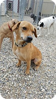 Labrador Retriever Mix Dog for adoption in Calgary, Alberta - BEN