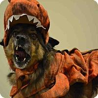 Adopt A Pet :: A075819 Baloo - Overland Park, KS