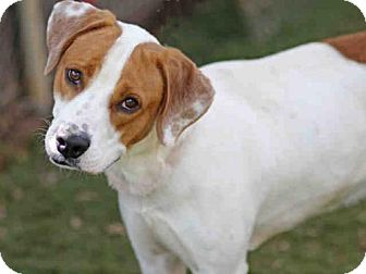 Foxhound/Pointer Mix Dog for adoption in Tallahassee, Florida - OL''  BLUE
