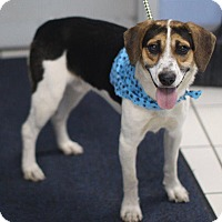Beagle/Coonhound Mix Puppy for adoption in Sparta, New Jersey - Darryl