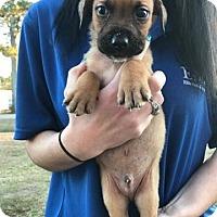 Adopt A Pet :: LeRoy - Springfield, VA