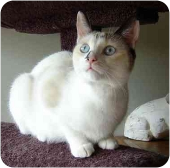Siamese Cat for adoption in cincinnati, Ohio - Anna Blue Eyes