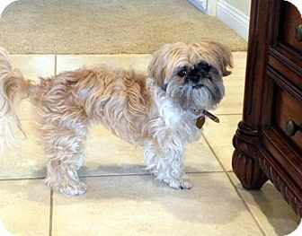 Shih Tzu Dog for adoption in Los Angeles, California - SADIE