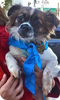 Cavalier King Charles Spaniel/Pekingese Mix Dog for adoption in Los Angeles, California - Oliver