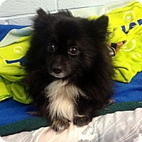 Adopt A Pet :: Orso - Muskegon, MI