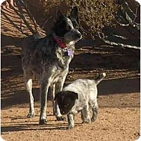 Adopt A Pet :: Shylee - Phoenix, AZ