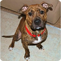 Adopt A Pet :: Precious(Courtesy listing) - Indianapolis, IN