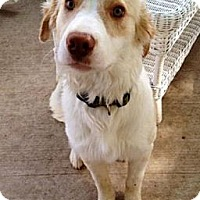 Adopt A Pet :: Augustus - Austin, TX