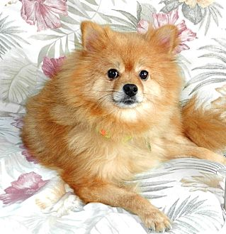 pomeranian california orange ca pomeranian meet roux a dog for adoption 1408