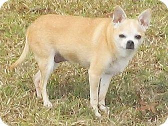 Chihuahua Dog for adoption in Umatilla, Florida - Cody