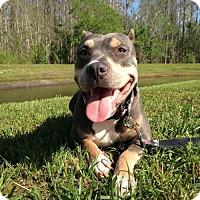 Adopt A Pet :: Irelynn - New Port Richey, FL