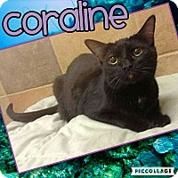 Domestic Shorthair Cat for adoption in Scottsdale, Arizona - Coraline