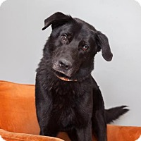 Labrador Retriever Mix Dog for adoption in Mission Hills, California - Black