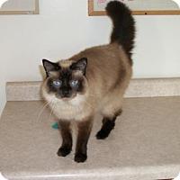 Siamese Cat for adoption in Lacon, Illinois - Izzy