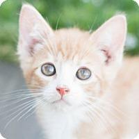 Domestic Shorthair Kitten for adoption in Modesto, California - Tate