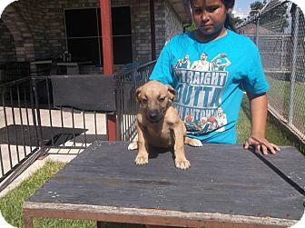 German Shepherd Dog/Labrador Retriever Mix Puppy for adoption in San Antonio, Texas - Holly