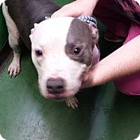 Pit Bull Terrier Mix Dog for adoption in Iroquois, Illinois - Petey