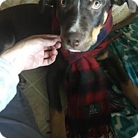 Australian Cattle Dog/Labrador Retriever Mix Dog for adoption in Broken Arrow, Oklahoma - Kylo
