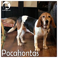 Beagle/Basset Hound Mix Dog for adoption in Pittsburgh, Pennsylvania - Pocahontas