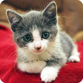 Domestic Shorthair Kitten for adoption in Austin, Texas - Yola