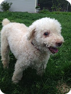 Poodle (Miniature) Dog for adoption in Williston, Vermont - Taffy