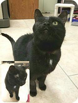 Domestic Mediumhair Cat for adoption in Lakeland, Florida - Jackie