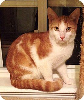 Domestic Shorthair Cat for adoption in Orange, California - Cosmo