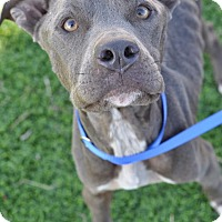 Adopt A Pet :: Samara - College Station, TX