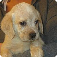 Adopt A Pet :: Buddy - Greenville, RI