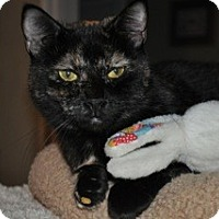 Domestic Shorthair Cat for adoption in La Canada Flintridge, California - Amber