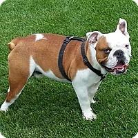 Adopt A Pet :: Rocky - Park Ridge, IL