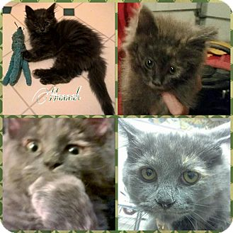 Domestic Mediumhair Kitten for adoption in Princeton, West Virginia - HANNAH