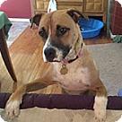 Adopt A Pet :: Lucy Boxer Mom