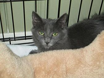 Domestic Longhair Cat for adoption in Houston, Texas - Suzette