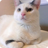 Domestic Shorthair Cat for adoption in New York, New York - Snuggler