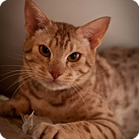 Ocicat Cat for adoption in Los Angeles, California - Stewart